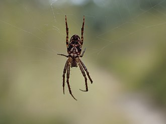 Plebs (spider) - P. eburnus on web.