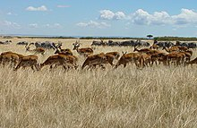 Herds Maasi Mara (cropped and straightened).jpg