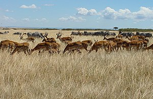 Life - Herds of zebra and impala gathering on the Maasai Mara plain
