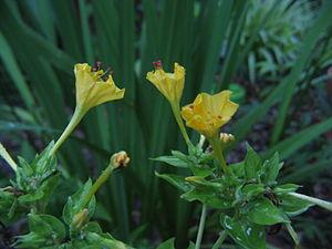 Nyctaginaceae - Garden Four O'Clock (Mirabilis jalapa) flowers
