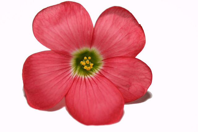 File:Oxalis_tetraphylla_flower on Flower Template To Color
