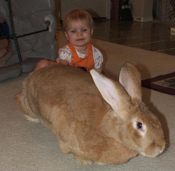flemish giant rabbit and dog - photo #22