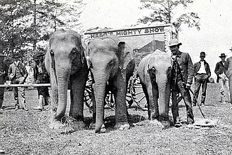 Mighty Haag Circus - Mighty Haag Circus Elephants: Tip, Alice and Babe in 1913. Tip and Alice worked in the Circus for more than 30 years. In the show Alice would pickup Ruby Haag in her mouth