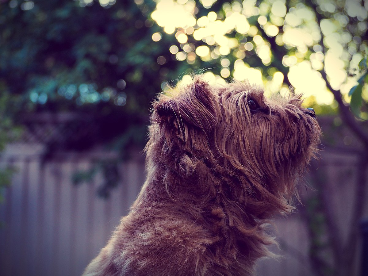 Norfolk Terrier Wikipedia