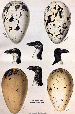Great auk - Paintings showing variation in egg markings, as well as seasonal and ontogenic differences in plumage