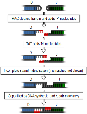 Junctional diversity - Generation of junctional diversity through recombination illustrated between two gene segments: D (blue) and J (green). Sections highlighted in red show nucleotides added at each stage.