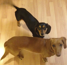 Two attentive short-haired dachshunds