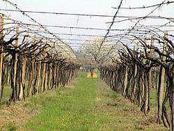 Vines in Colognola