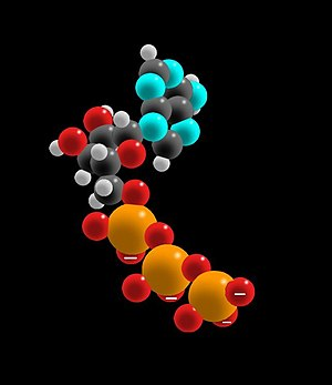 A space-filling molecular model of ATP, with h...