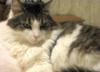 Crystal - American Longhair Cat.png