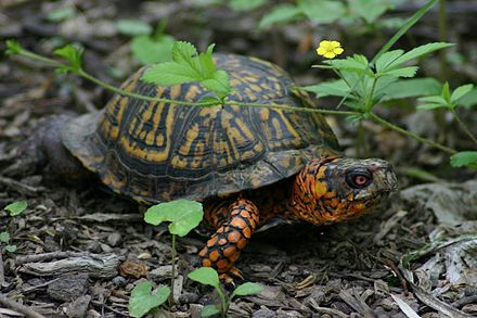 Adult male Terrapene carolina carolina, North Carolina's state reptile EasternBoxTurtleMale.jpg