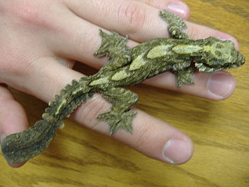 Flying Geckos make interesting pets, but requi...