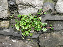 Ivy-leaved Toadflax.JPG