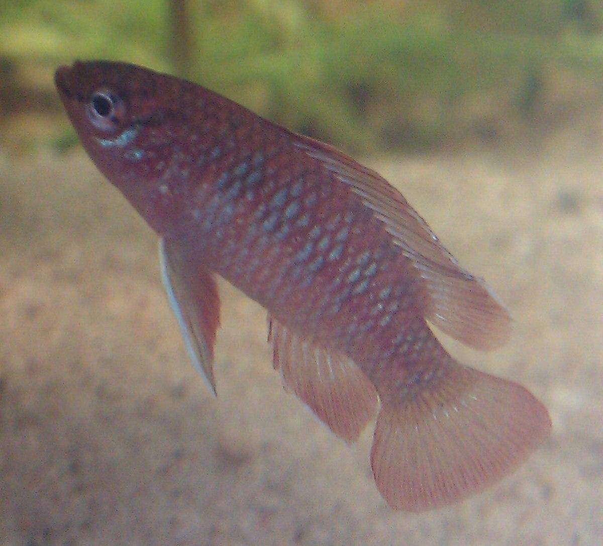 Scarlet badis male 1.jpg