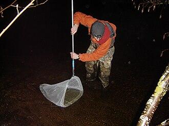 Smelt (fish) - Smelt dipping in the Keweenaw Peninsula in Michigan