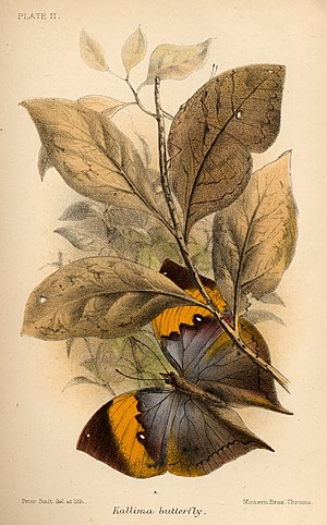 """Animal Coloration (book) -  Plate II, """"Kallima butterfly"""". (How many insects are in the image?)"""