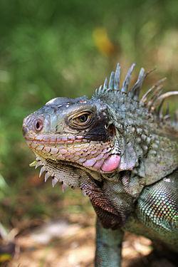 definition of iguana