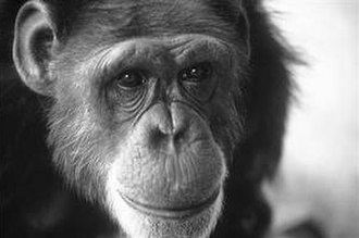 Washoe (chimpanzee) - Image: Washoe chimpanzee