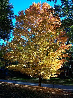 Autumn Tree in Northern California