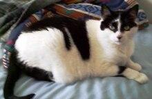 bicolor cat  wikipedia the free encyclopedia