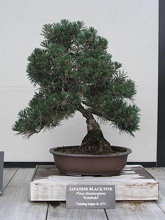 Pinus thunbergii - Image: Japanese Black Pine