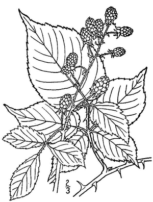 Rubus allegheniensis - Image: Rubus allegheniensis (Allegheny blackberry)