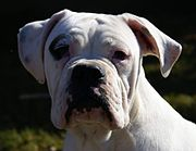 Male Valley Bulldog