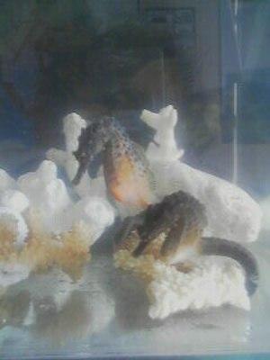 Big-belly seahorse - Image: H. Abdominalis 2