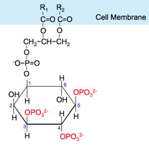 Akt/PKB signaling pathway - Structure of Phosphatidylinositol (3,4,5)-trisphosphate