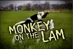 Recurring segments on The Colbert Report - The opening graphic of Monkey on the Lam