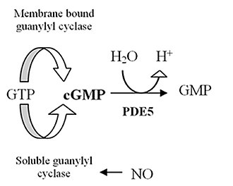 Discovery and development of phosphodiesterase 5 inhibitors - Figure 1: Effect of PDE5 enzyme
