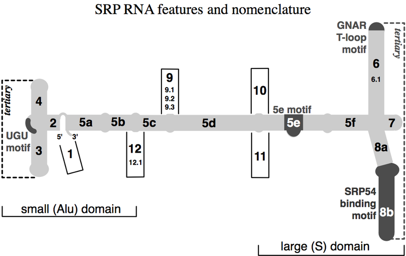 srp signal recognition particle