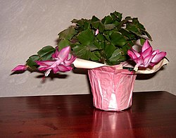 Thanksgiving or Christmas Cactus