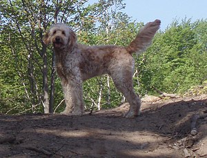 Goldendoodle Tracking Rabbit6