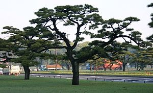 Pinus thunbergii - Pruned Black Pines in Japanese National Garden, Tokyo
