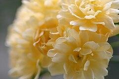 Clasificación de los rosales 240px-Lady_banks_rose