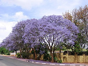 Polokwane - Jacaranda trees lines many streets in Polokwane, blooming purple blossoms in October every year.