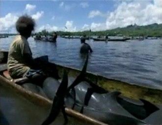 Malaita dolphin drive hunt - Image: Dolphinhuntsolomon