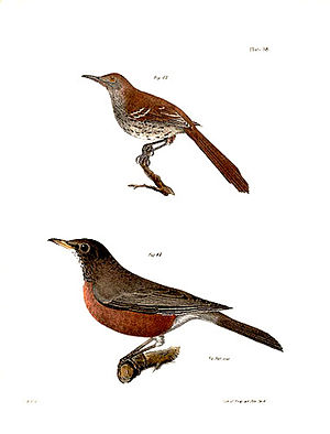 John William Hill - Brown thrasher and American robin