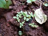 Ocimum tenuiflorum (1).jpg