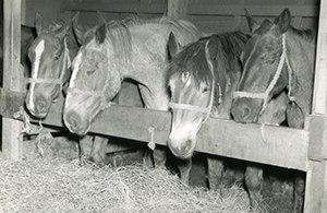 SS Cedar Rapids Victory - Horses on board SS Cedar Rapids Victory