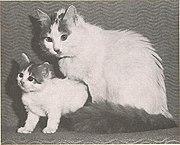 Gatos de Van a los que no se les ven los ojos de distinto color debido a la distancia