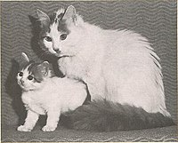 Van Guzelli Iskenderun, the first registered Turkish Van, imported from Turkey in 1955 by Laura Lushington