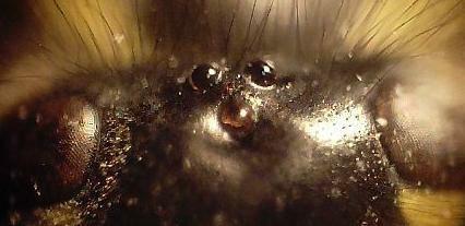 Wasp ocelli