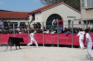 "Course landaise - A young raseteur flees from a bull, during a ""course camargaise"", very different from a ""course landaise""."