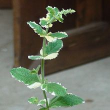 how to grow apple mint indoors