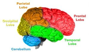 image of brain broken up into separate lobes