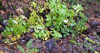 Aralia californica - Elk clover growing adjacent to Copeland Creek within Fairfield Osborn Preserve