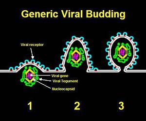 Viral shedding - Generic viral budding.