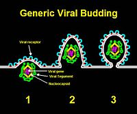Virus lysis and budding asexual reproduction